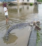 Crocodile caught that escaped from Nakhon Si Thammarat Zoo
